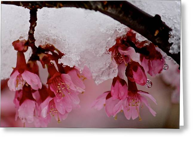 Icy Cherry Blossoms Greeting Card