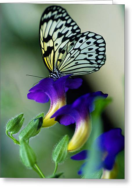Idea Lecomoe Tree Nymph Butterfly On Greeting Card
