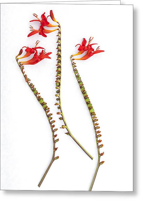 If Seahorses Were Flowers Greeting Card by Carol Leigh