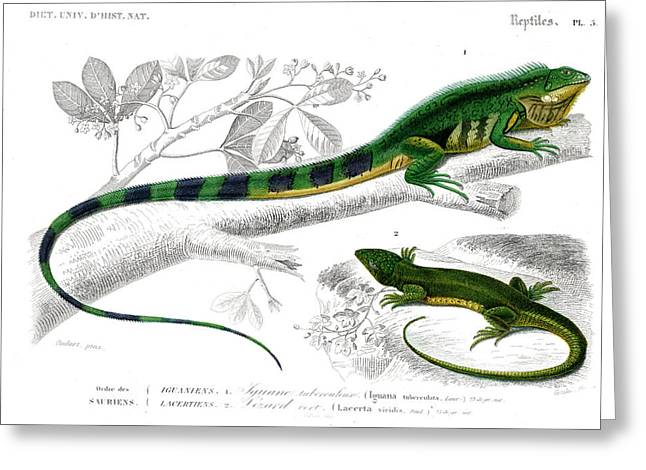 Iguana And Green Lizard Greeting Card by Collection Abecasis