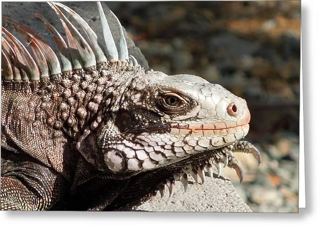 Iguana Greeting Card by Jodi Terracina