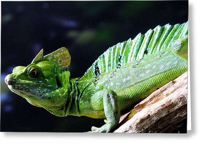 Iguana Greeting Card by Kathleen Struckle