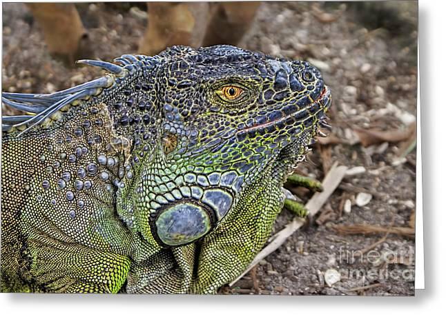 Greeting Card featuring the photograph Iguana by Olga Hamilton