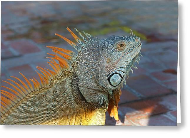 Iguana, Puerto Vallarta, Jalisco, Mexico Greeting Card by Douglas Peebles