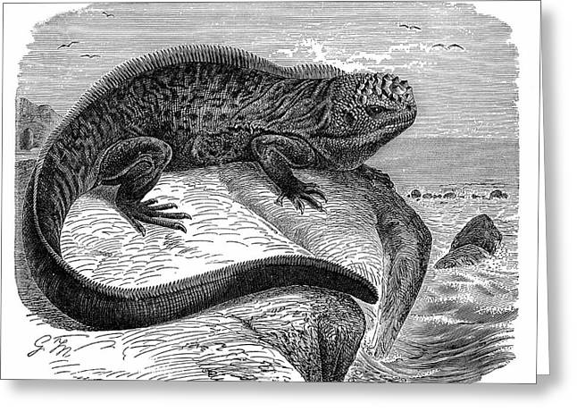 Iguana Greeting Card by Universal History Archive/uig