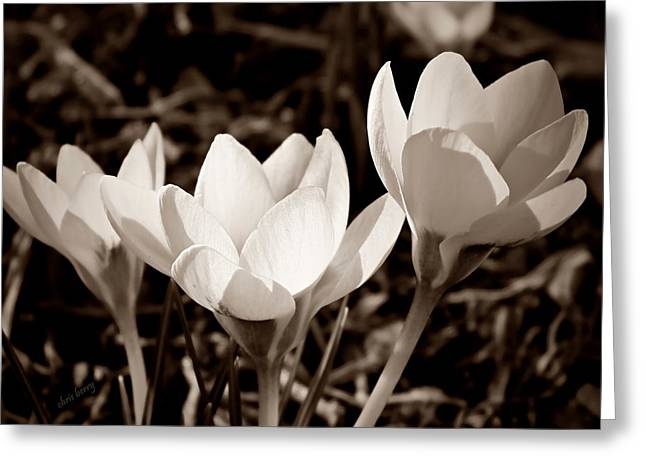 Illuminated Crocus  Greeting Card by Chris Berry
