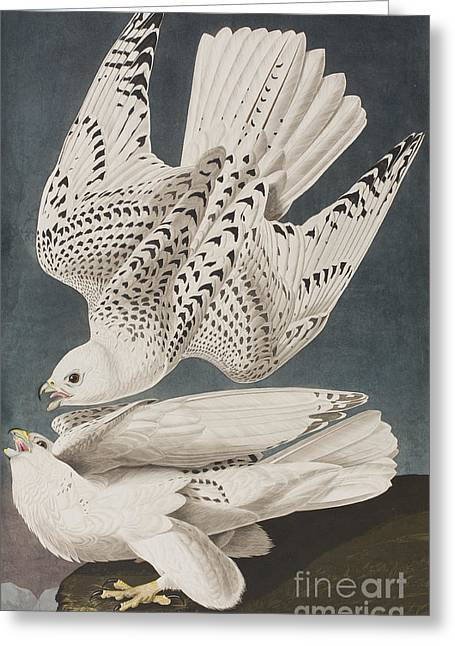 Illustration From Birds Of America Greeting Card by John James Audubon