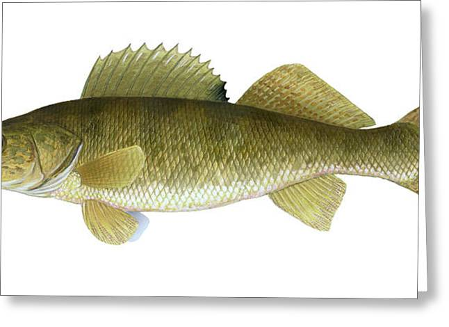 Illustration Of A Walleye Sander Greeting Card by Carlyn Iverson