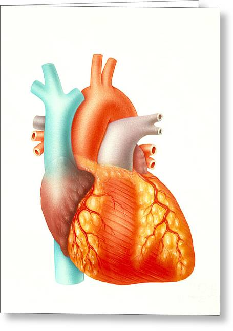 Illustration Of The Human Heart Greeting Card by Carlyn Iverson