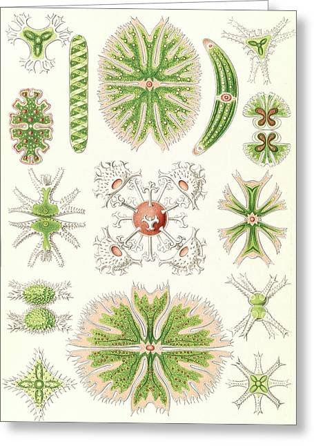 Illustration Shows Algae. Desmidiea. - Bierdinge Greeting Card