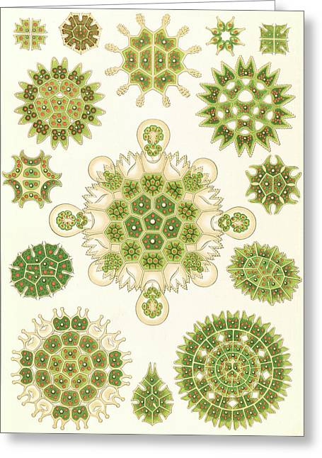 Illustration Shows Algae In The Genus Pediastrum Greeting Card