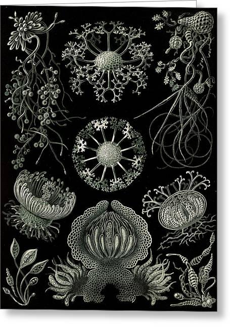 Illustration Shows Fungi. Ascomycetes. - Schlauchpilze Greeting Card