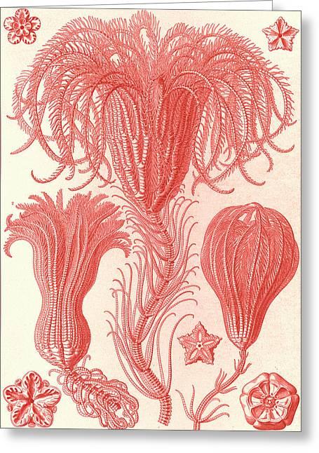 Illustration Shows Marine Animals. Crinoidea Greeting Card by Artokoloro