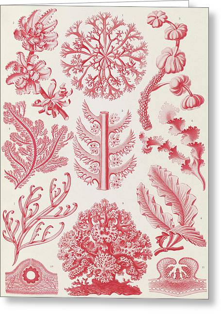 Illustration Shows Red Algae. Florideae. - Rotalgen Greeting Card
