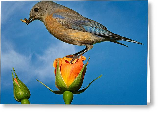 I'm On Top Of The Rose. Greeting Card