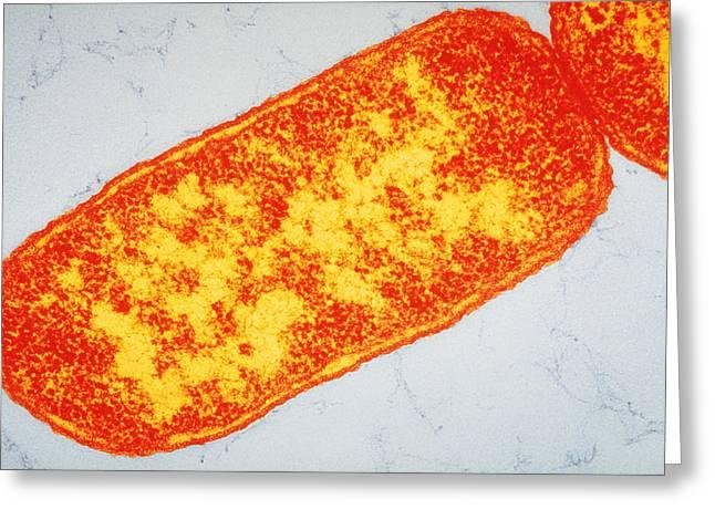 Image Of Escherichia Coli Greeting Card by Biology Pics