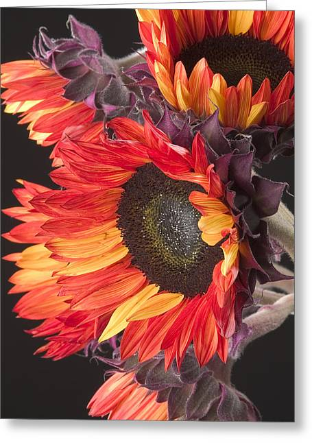 Imagination - Sunflower 01 Greeting Card
