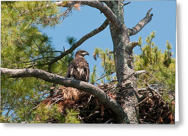 Greeting Card featuring the photograph Immature Bald Eagle by Brenda Jacobs