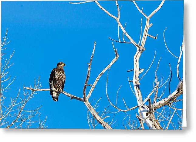 Immature Bald Eagle Greeting Card
