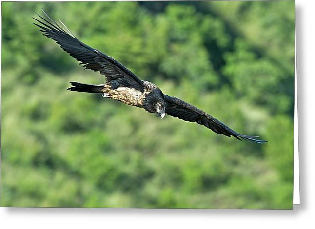 Immature Bearded Vulture In Flight Greeting Card by Tony Camacho