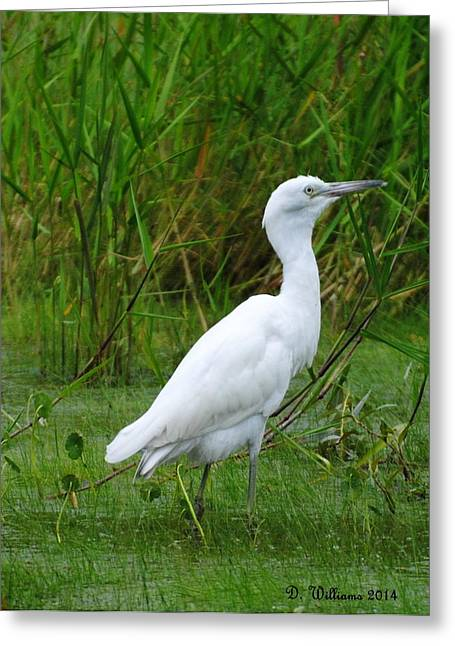 Immature Little Blue Heron Greeting Card