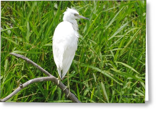 Immature Little Blue Heron On Watch Greeting Card