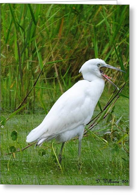 Immature Little Blue Heron Yawning Greeting Card