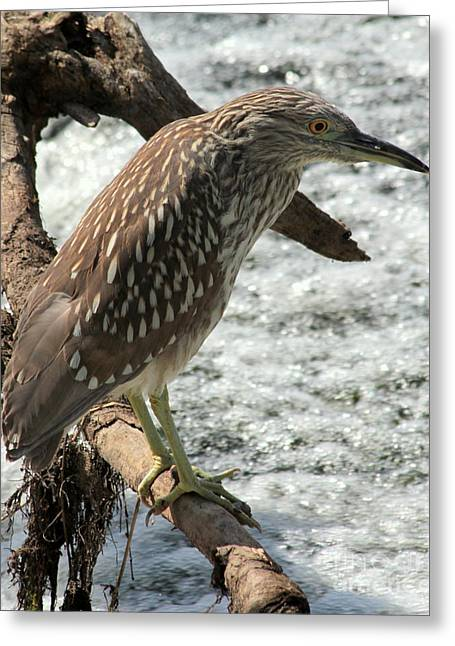 Greeting Card featuring the photograph Immature Night Heron by Kenny Glotfelty