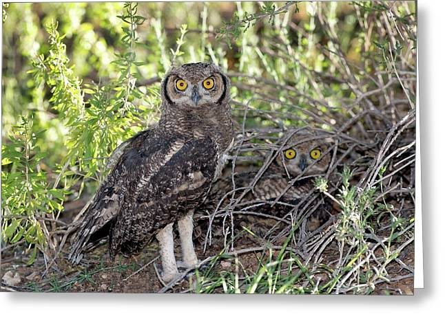 Immature Spotted Eagle Owls Greeting Card by Tony Camacho