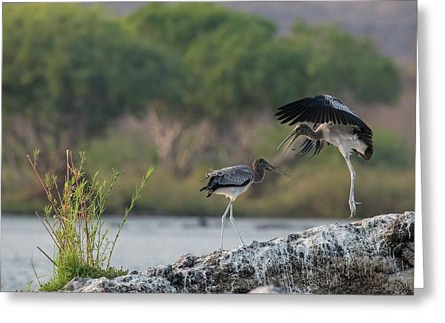 Immature Yellow-billed Storks At Play Greeting Card by Tony Camacho/science Photo Library