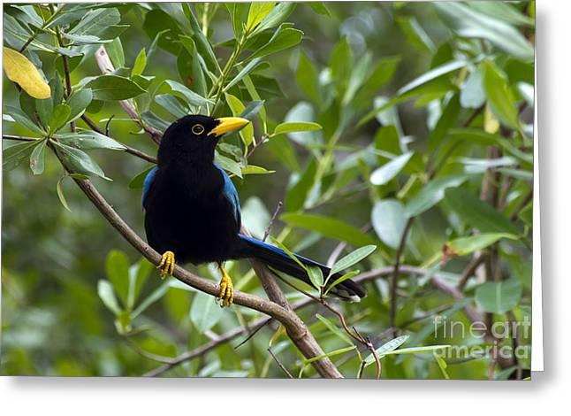 Immature Yucatan Jay Greeting Card by Teresa Zieba
