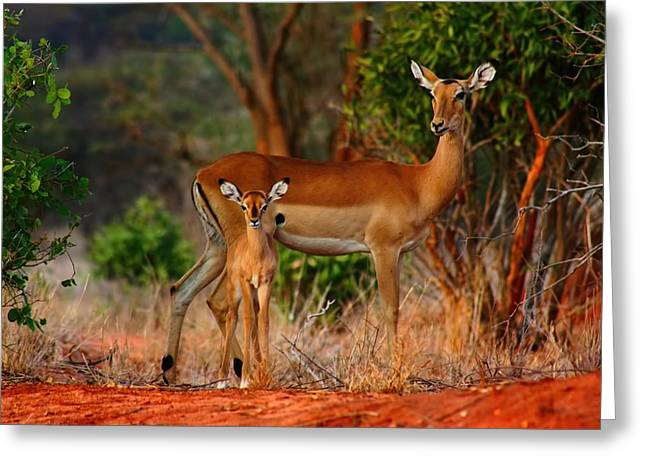 Impala And Young Greeting Card by Amanda Stadther