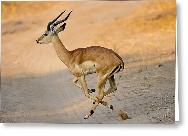 Impala Crossing A Track Greeting Card
