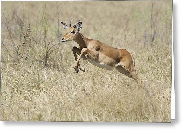 Impala Leaping Through Savanna Greeting Card by Richard Berry
