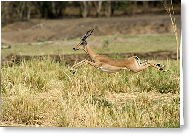 Impala Running Greeting Card by Science Photo Library