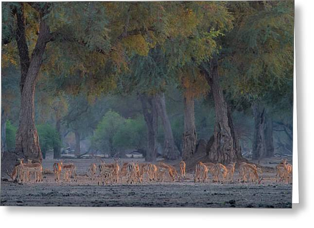 Impalas At Dawn Greeting Card by Giovanni Casini