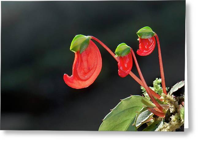 Impatiens Parasitica Flowers Greeting Card