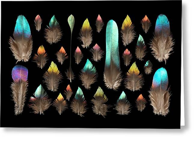 Impeyan Monal Pheasant Greeting Card by Chris Maynard