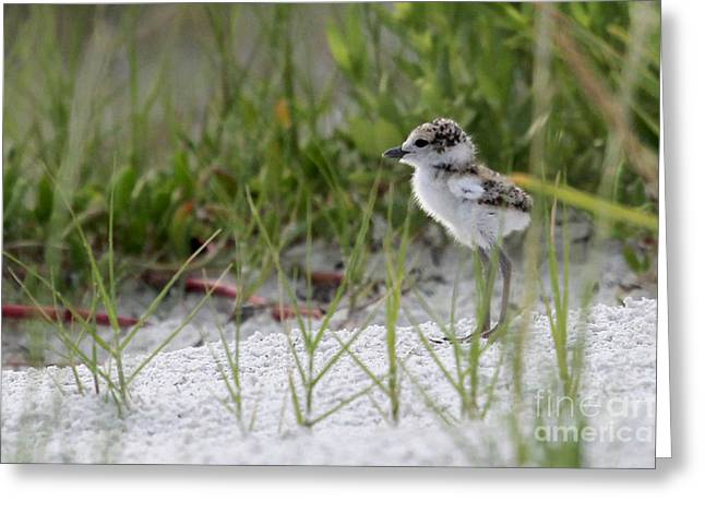 In The Grass - Wilson's Plover Chick Greeting Card