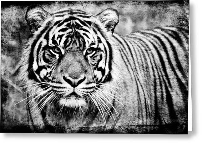 In The Midst Of A Tiger II Greeting Card by Athena Mckinzie