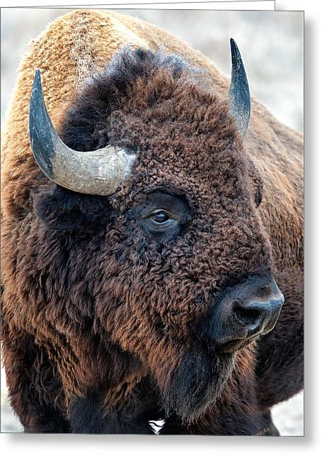 In The Presence Of  Bison - Yes Paint Him Greeting Card
