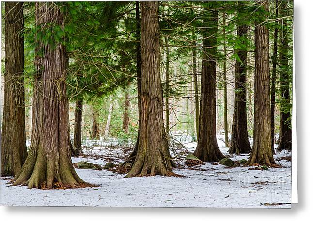 Greeting Card featuring the photograph In The Thuja Forest by Kennerth and Birgitta Kullman