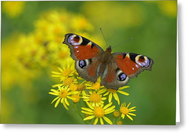 Inachis Io Butterfly On The Yellow Flowers Greeting Card by Jaroslaw Blaminsky