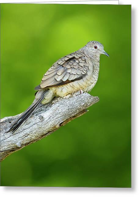 Inca Dove (columbina Inca Greeting Card by Larry Ditto