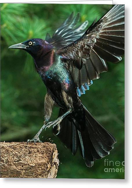 Incoming Grackle Greeting Card
