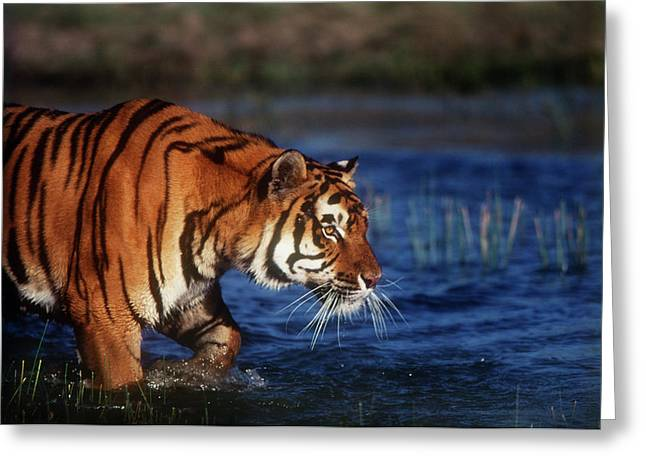 India, Bengal Tiger (panthera Tigris Greeting Card by Stuart Westmorland