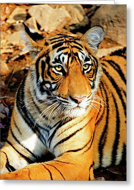 India, Sawai Madhopur, Ranthambore Greeting Card by Miva Stock