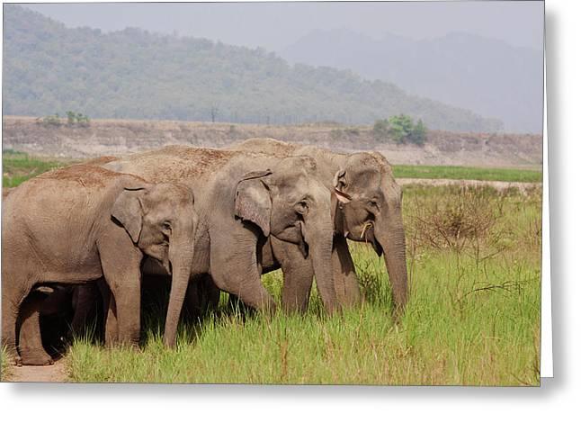 Indian Asian Elephants, Corbett Greeting Card by Jagdeep Rajput