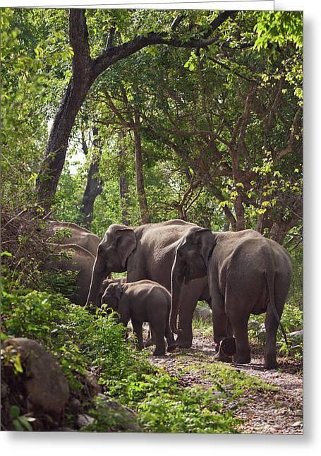 Indian Asian Elephants In The Sal Greeting Card by Jagdeep Rajput
