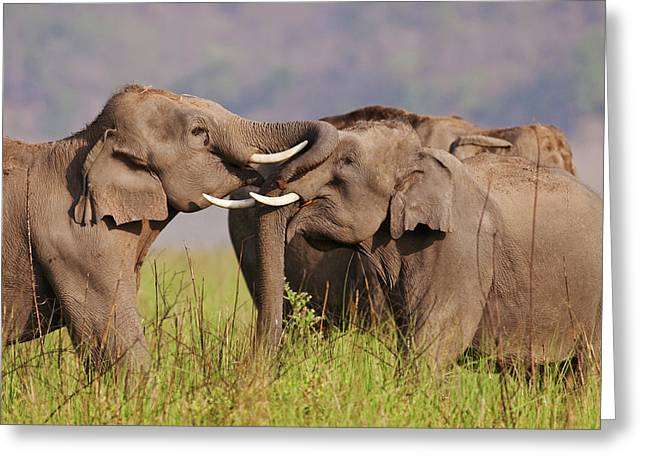 Indian Asian Elephants Sparring Greeting Card